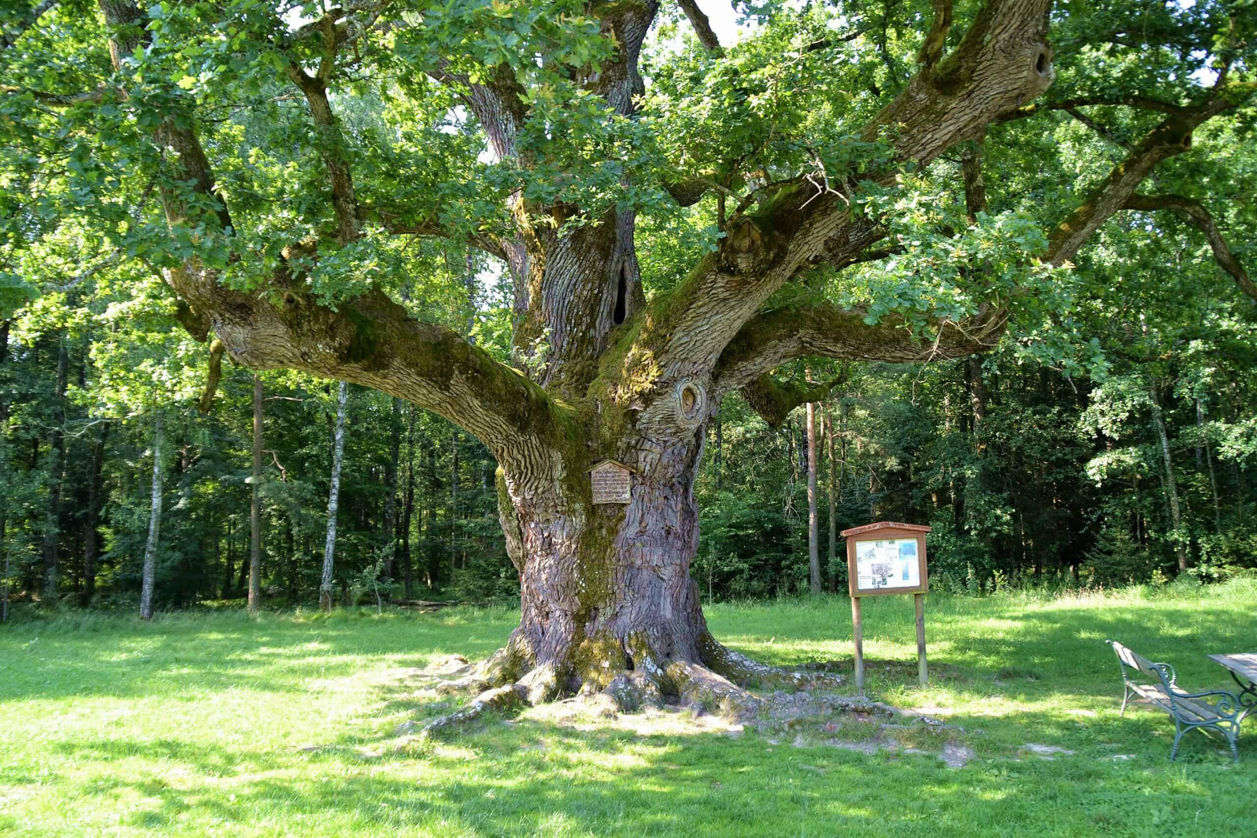 1000-Jährige Eiche